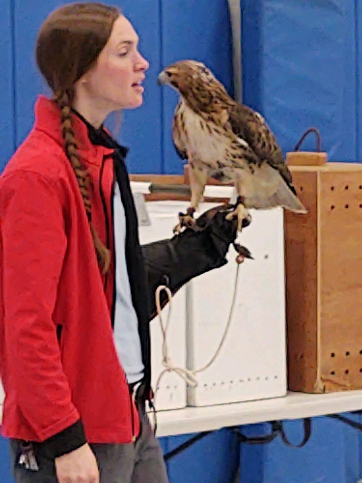 A Red Tailed Hawk from the OH Bird Sanctuary