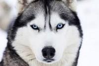 Husky Picture